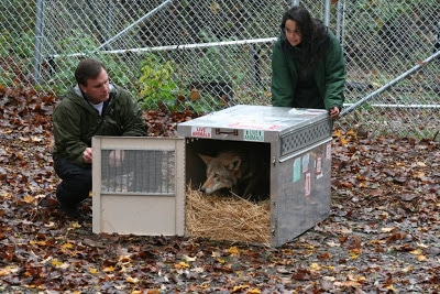 Red Wolf M1483 Arrives at the Wolf Conservation Center