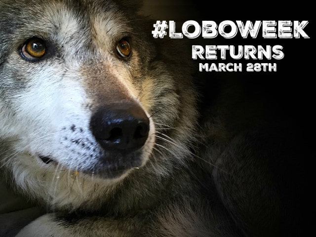 LoboWeek Returns