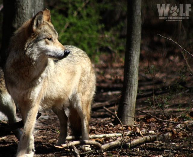 Mexican gray wolf F1143