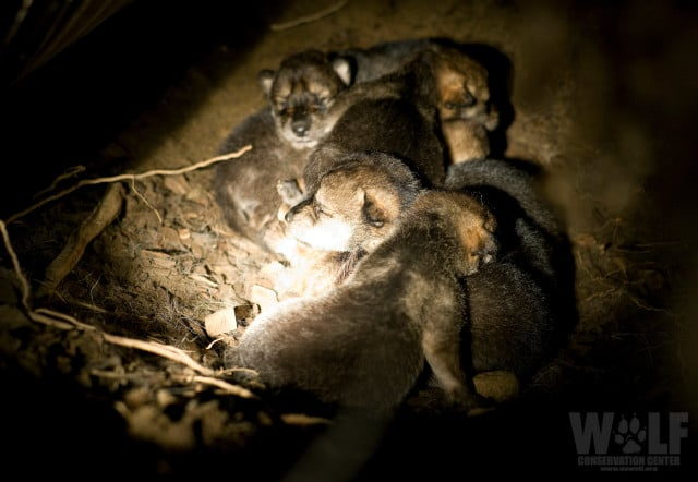 Mexican Wolf pups 7 days old