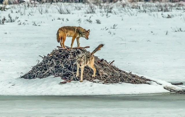 Eastern_wolves