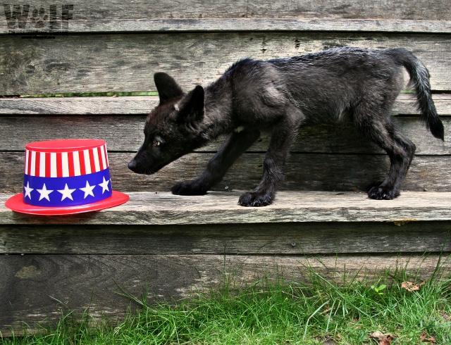 Pup_hat_flag_logo_blog