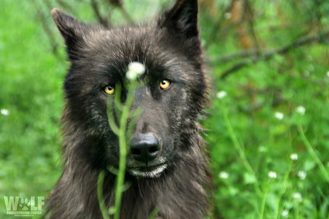 Wolves Are A Critical Keystone Species In A Healthy Ecosystem