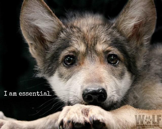lobo_pup_essential_logo_sm