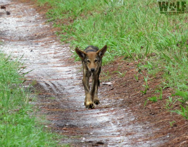 Red Wolf pup walking St. Vincent NWR