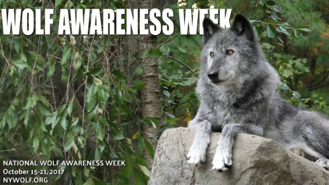 wOLF_aWARENESS_wEEK_blog