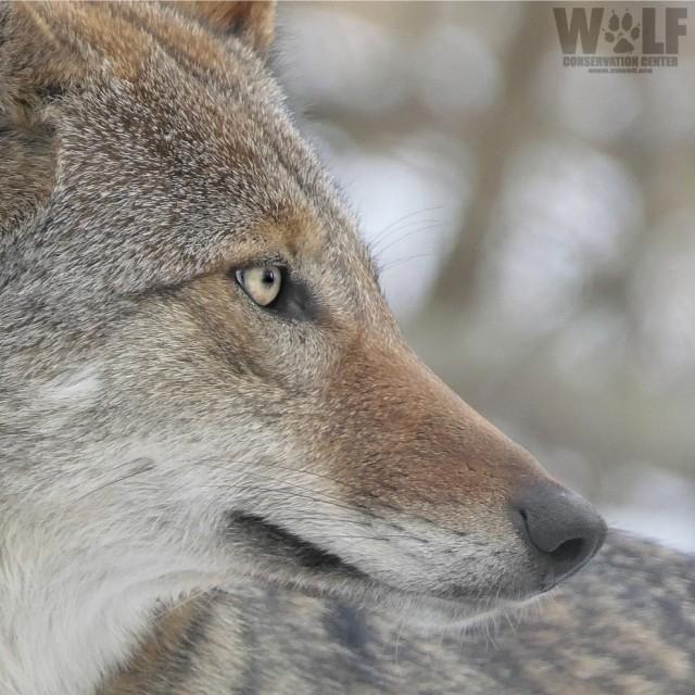 red_wolf_f2121_charlotte_edit_sq_LOGO_SM