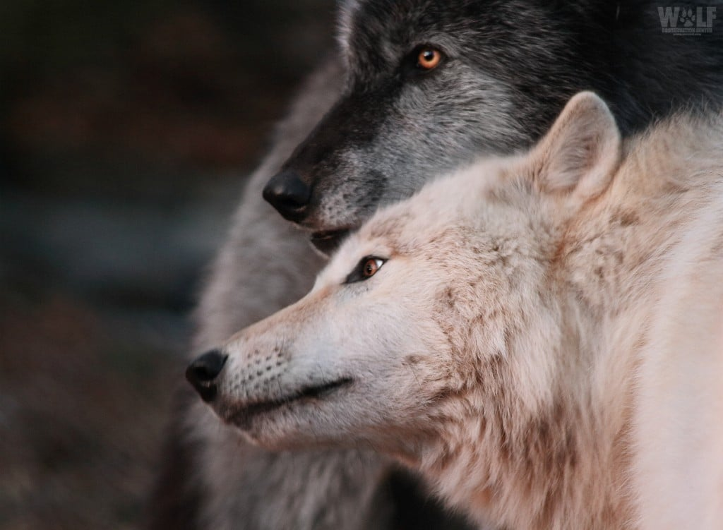 Washington State to Kill Two Wolves to Protect Cows on