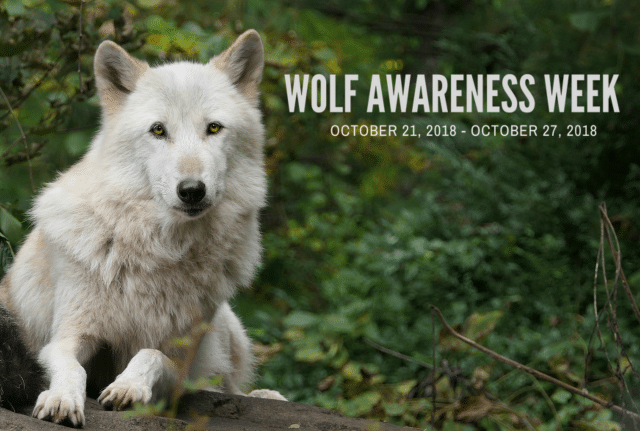 Wolf_awareness_week_2018_edit_blog