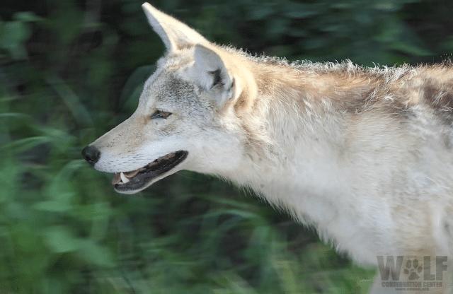 coyote_2018_edit_logo_blog