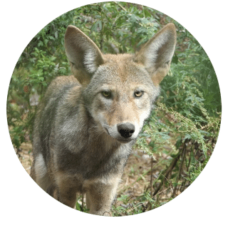 Red Wolf Pup Naming Contest For Kids Wolf Conservation Center
