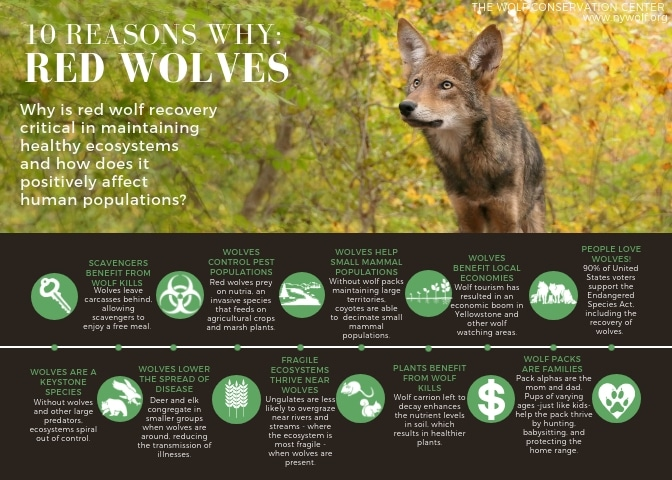 Copy of Copy of RED WOLVES ARE A KEYSTONE SPECIES_5x7