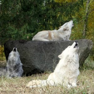 Trio Howl