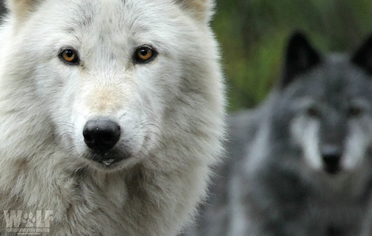 Pack Chat for Kids – Wolf Conservation Center