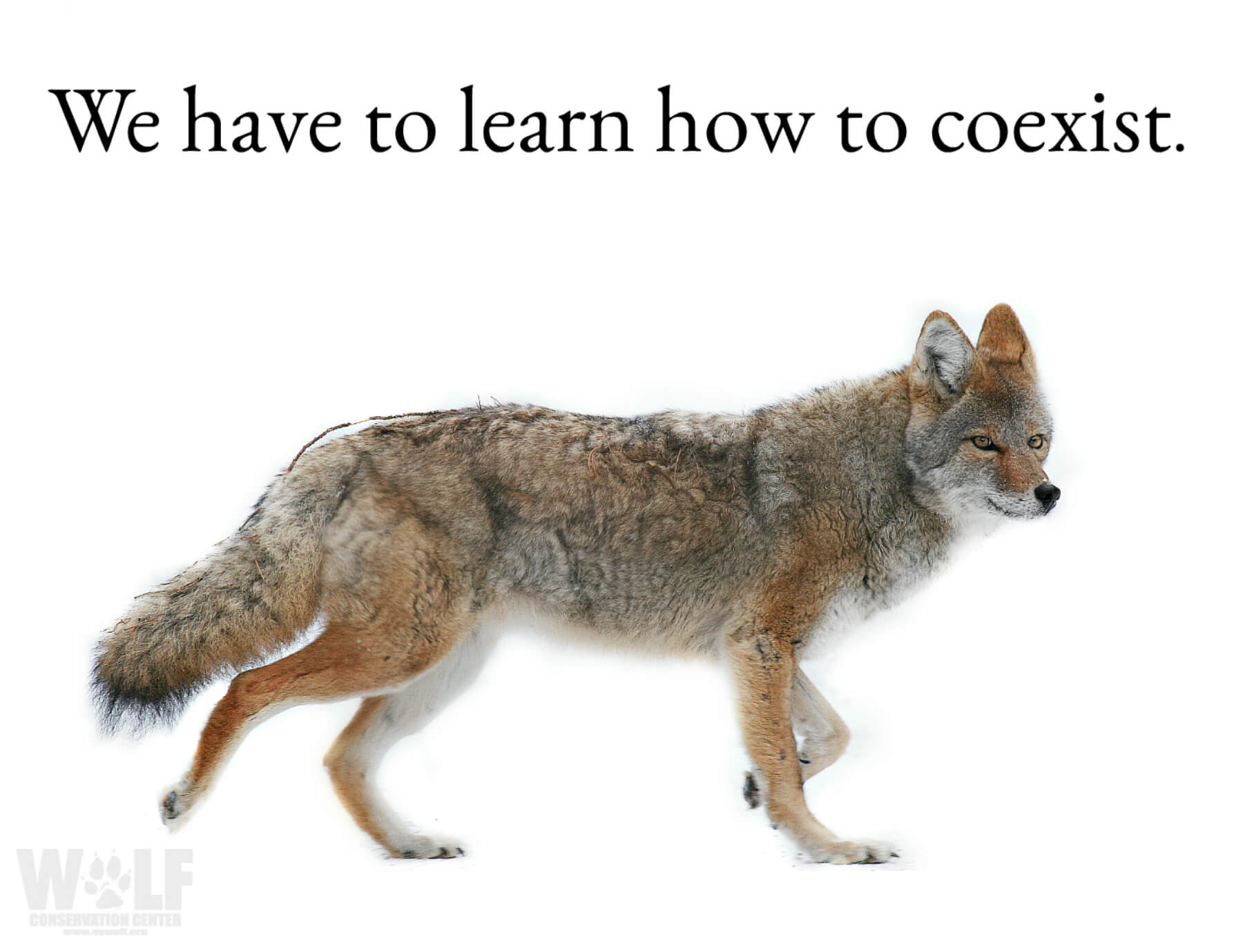 WCC_Coyote_coexist