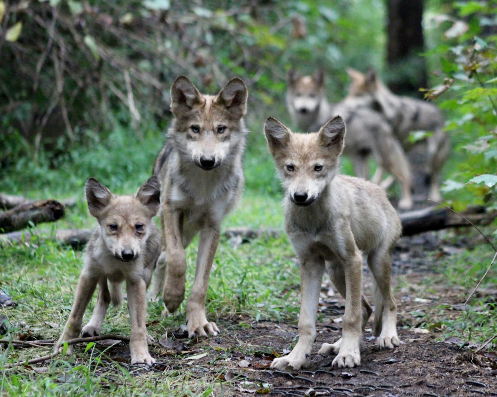 Summer Wolf Camp for Kids Grades 1-2 07 01 19 – Wolf Conservation Center