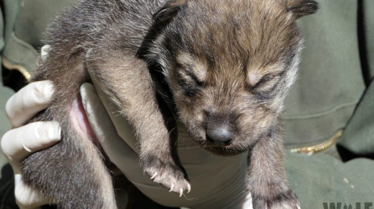 Six Captive Mexican Wolf Newborns Released to the Wild