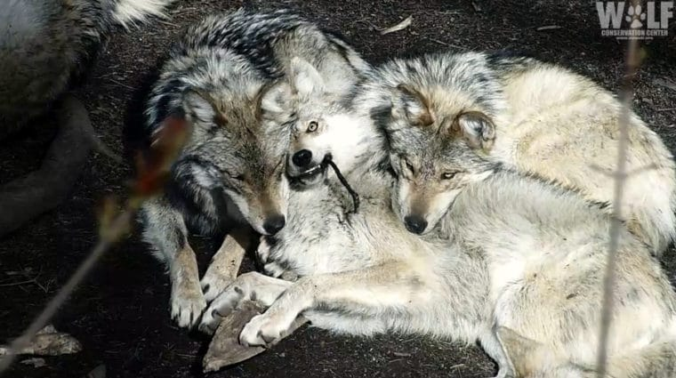 Caught in the Act! Endangered Wolf Pups Kill Webcam