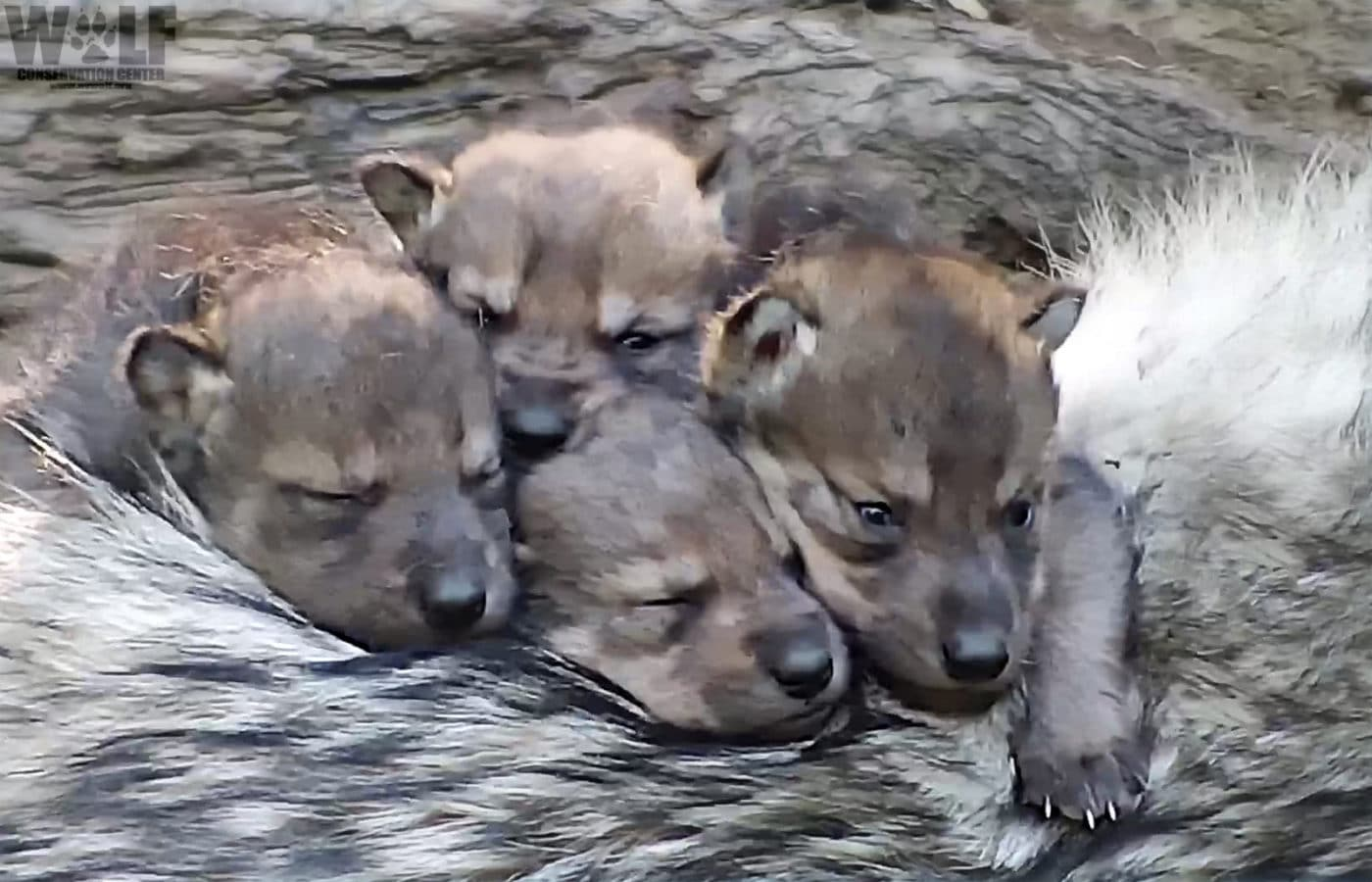 Endangered Wolf Pups Snuggle on Big Sister's Back