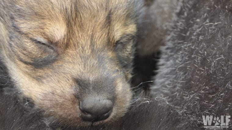 Mother's Day Surprise – Rare Mexican Gray Wolf Pups Born at the Wolf Conservation Center