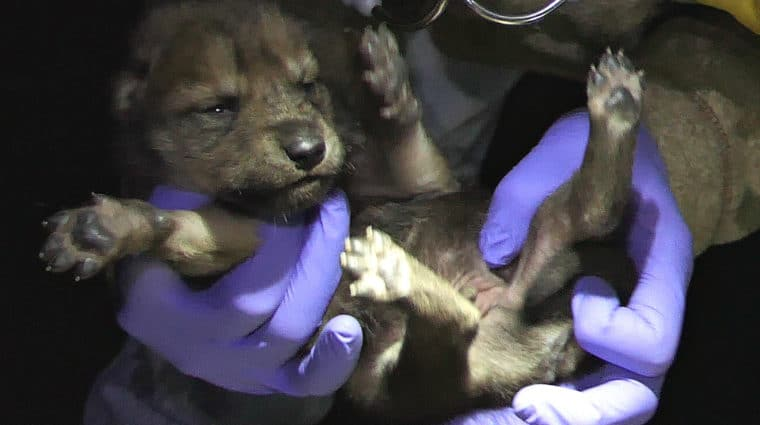 Mexican Gray Wolf Pup Born at Wolf Conservation Center Released to the Wild