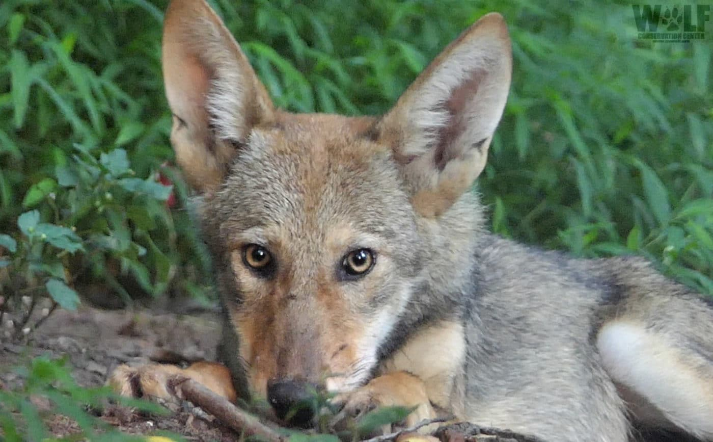 Fewer than 30 Red Wolves Remain, What Happens Now