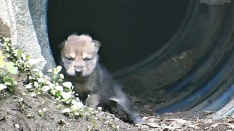 PUPDATE: Two-week-old Mexican Wolf Pups Grow Bolder