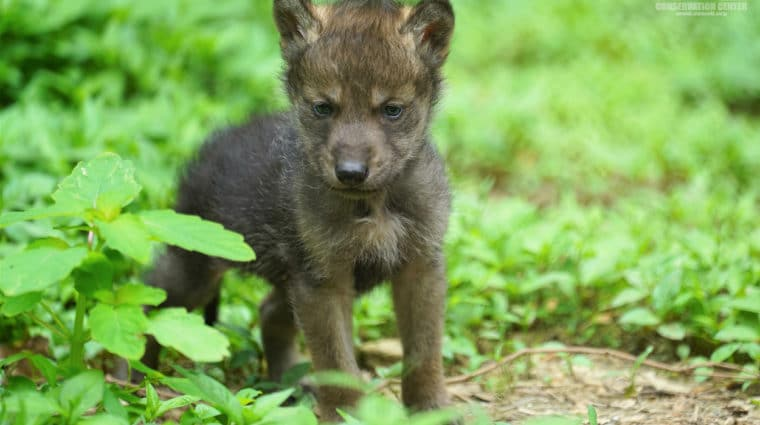 Pupdate: Mexican Gray Wolf Pups Turn Two Months Old