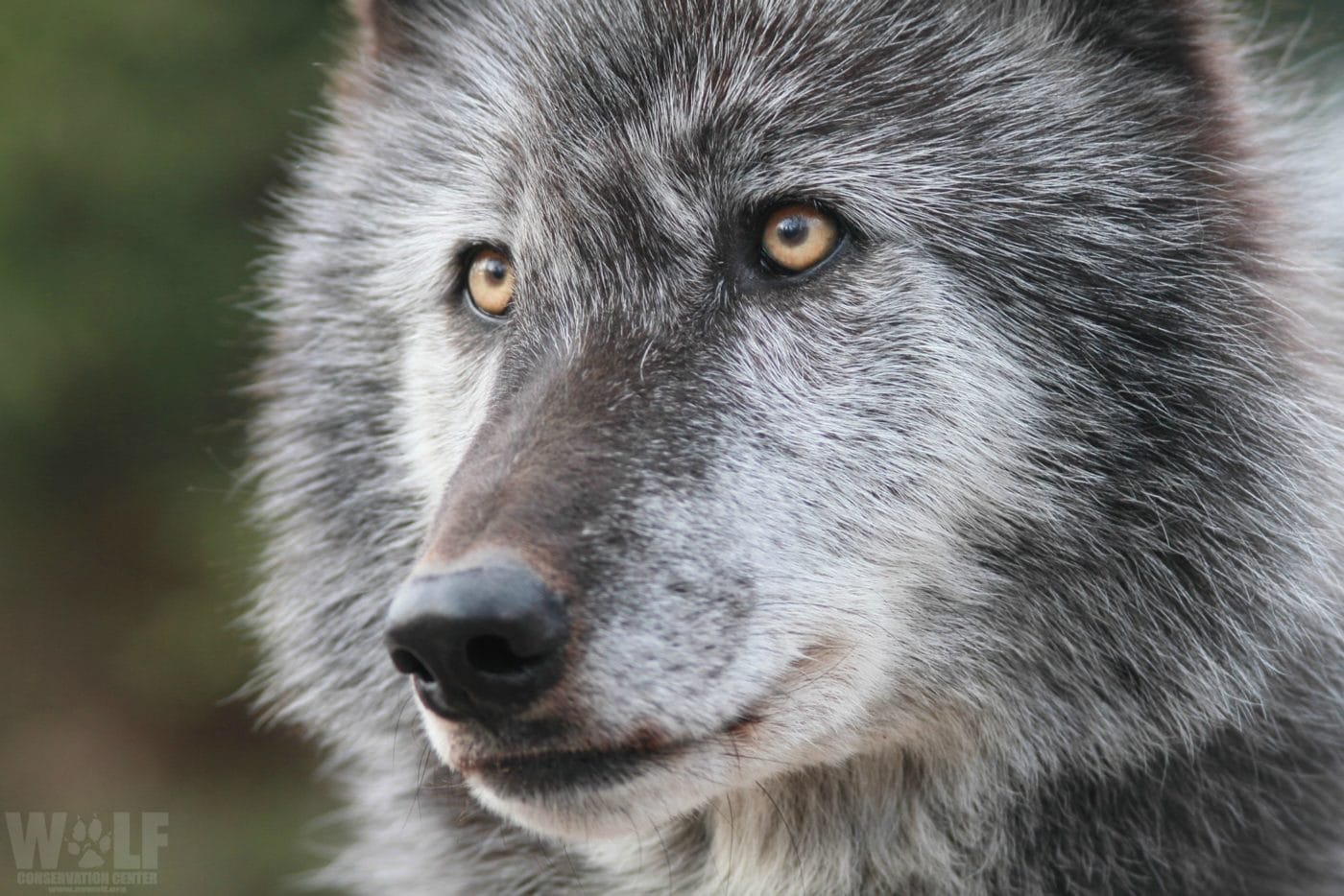 One Month Left to Oppose Gray Wolf Delisting Plan