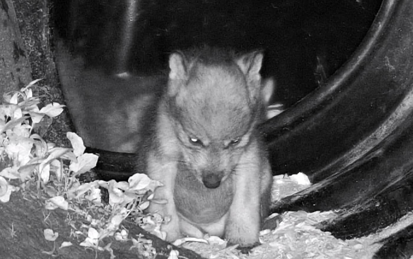 Potbellied Wolf Pup Fights the Zzzz.
