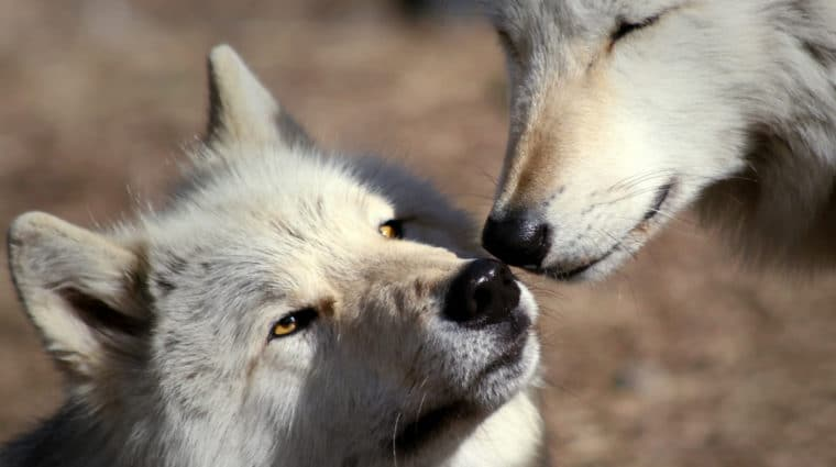 Wolf Pack Mates Make Peace, Dogs Hold a Grudge