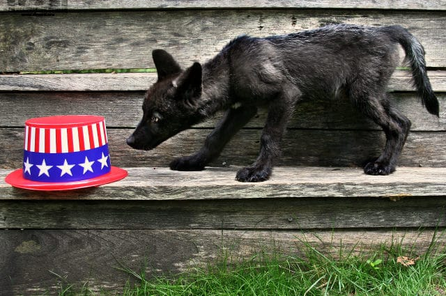 Please Be Mindful of Wildlife on Independence Day