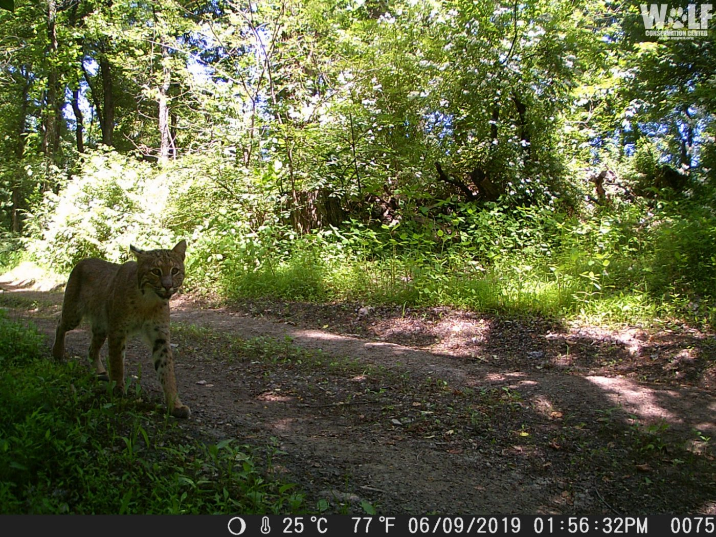 Wolf Conservation Center Gets Thrown to the Cats