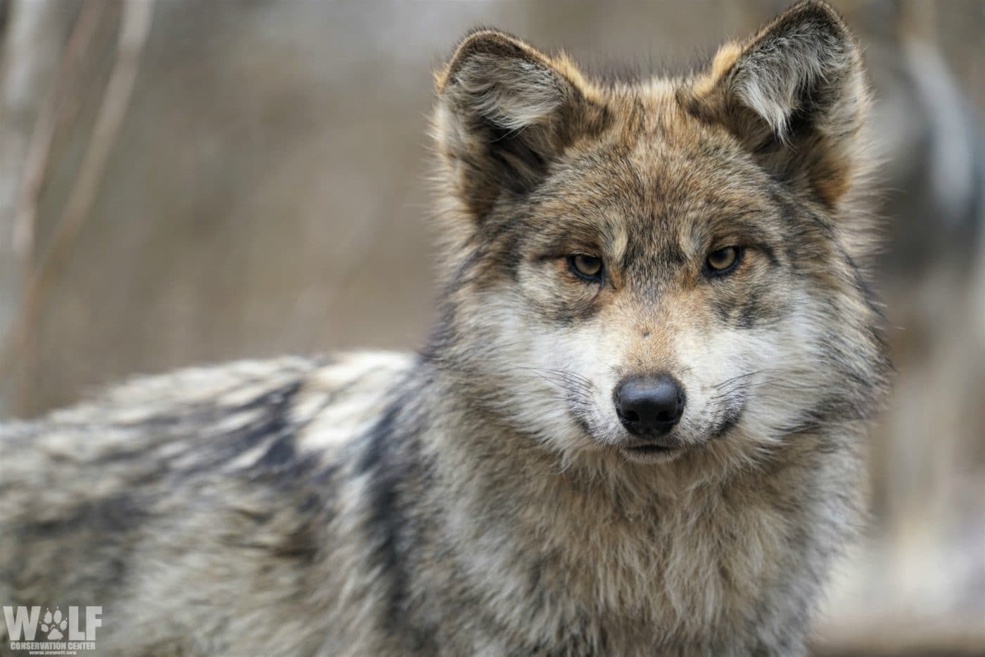 Study Finds Politics Resulted in Lower Recovery Goals for Mexican Gray Wolves