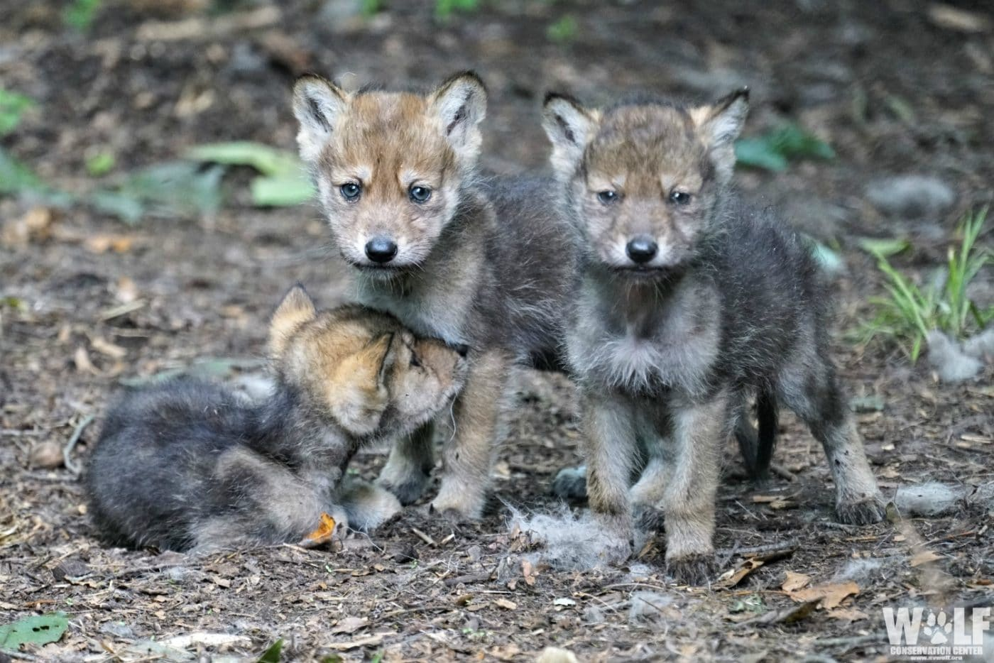 Pint-Sized Pups Work to Save Mexican Gray Wolves