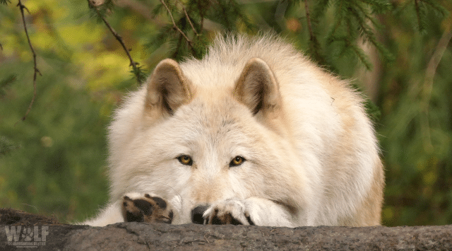 Washington State Officials to Kill Wolf Families to Protect Cows
