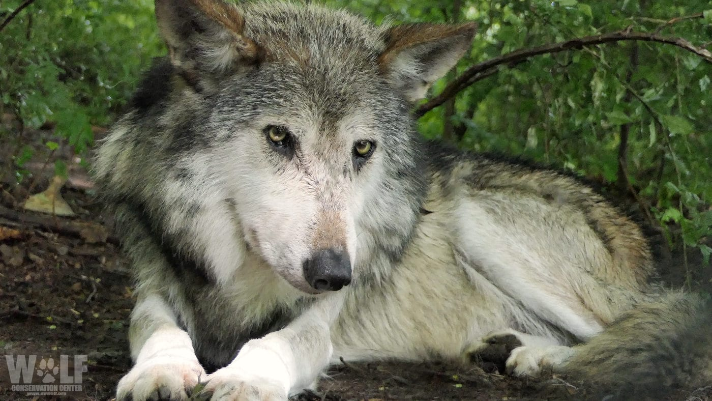 Feds Seek to Trap or Kill Critically Endangered Mexican Wolf