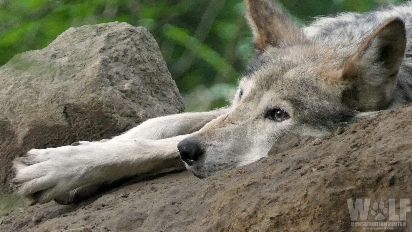 Feds Issue Mexican Wolf 'Kill Order'