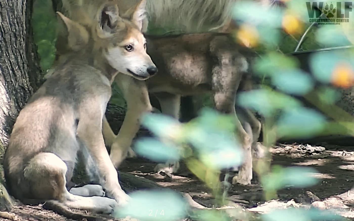Wolf Pup Ambush