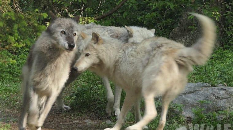 Imminent Hunting Season Threatens Denali Wolves