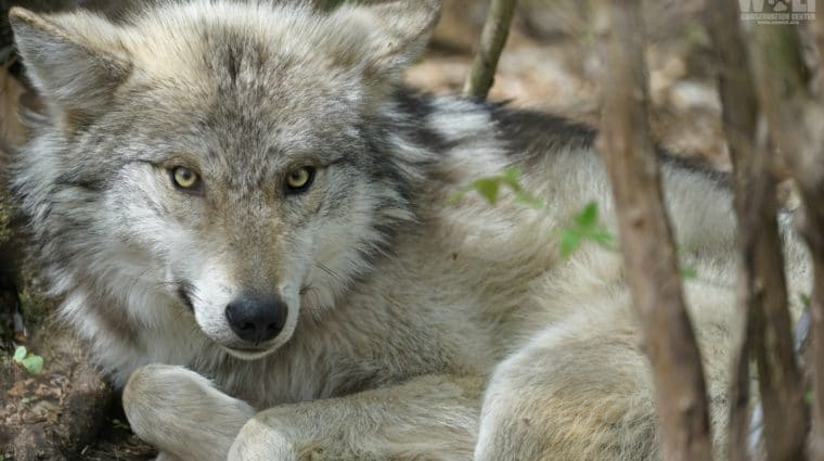 Feds Hire Known Wolf Killer to Trap Mexican Gray Wolves