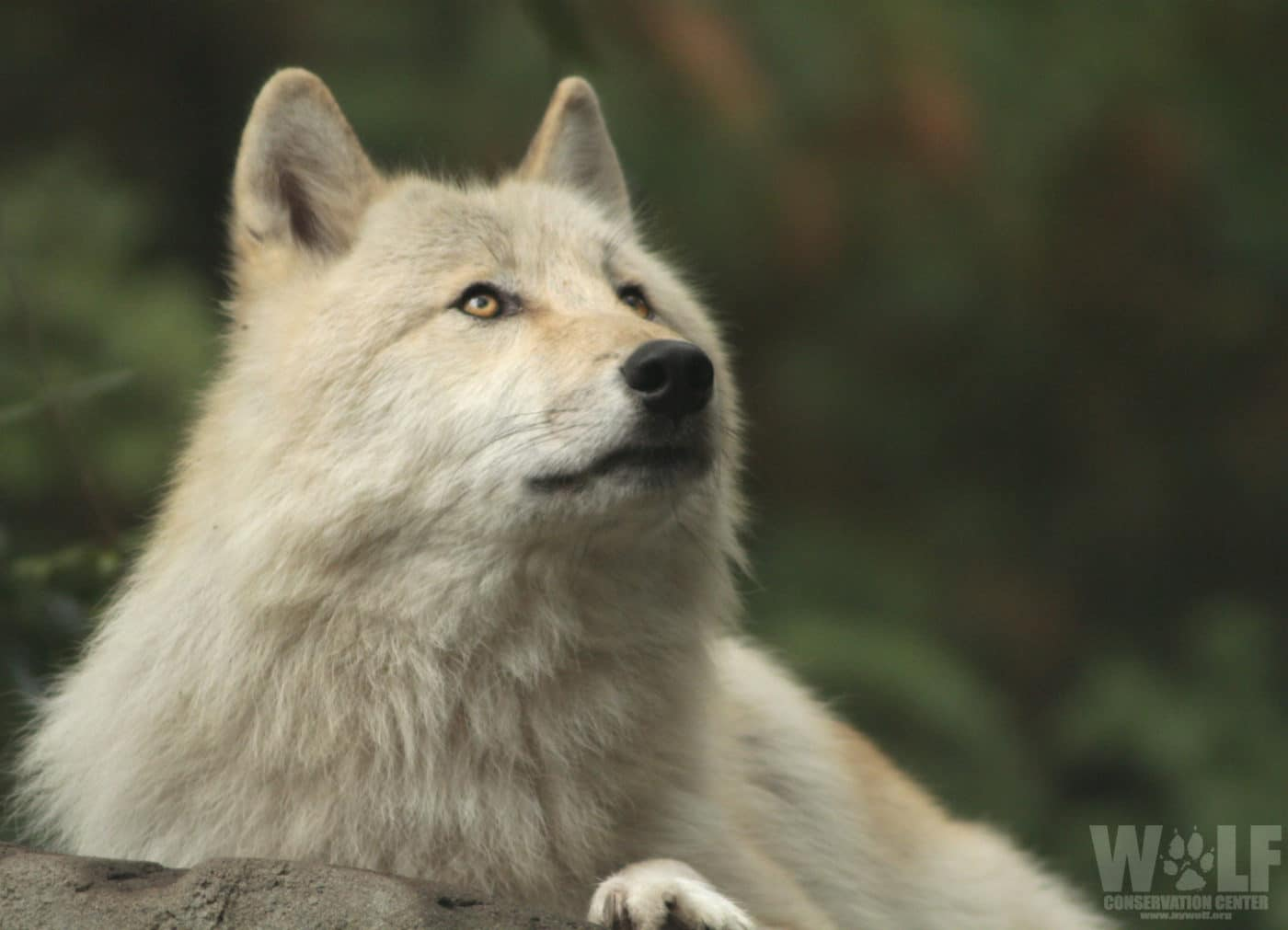 URGENT Action Needed – Stop the Senseless Killing of Washington's Wolves