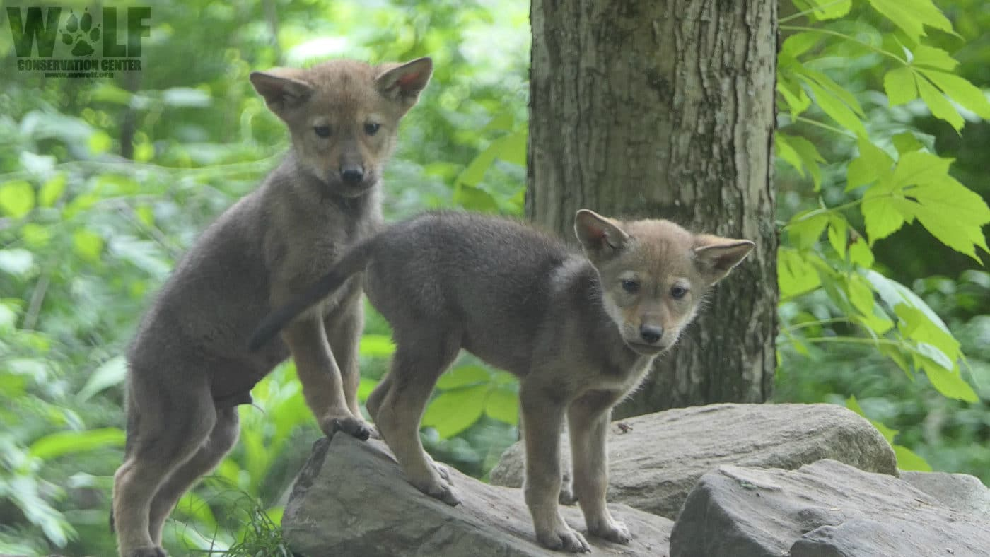 Red Wolves Respond to Alarm Call