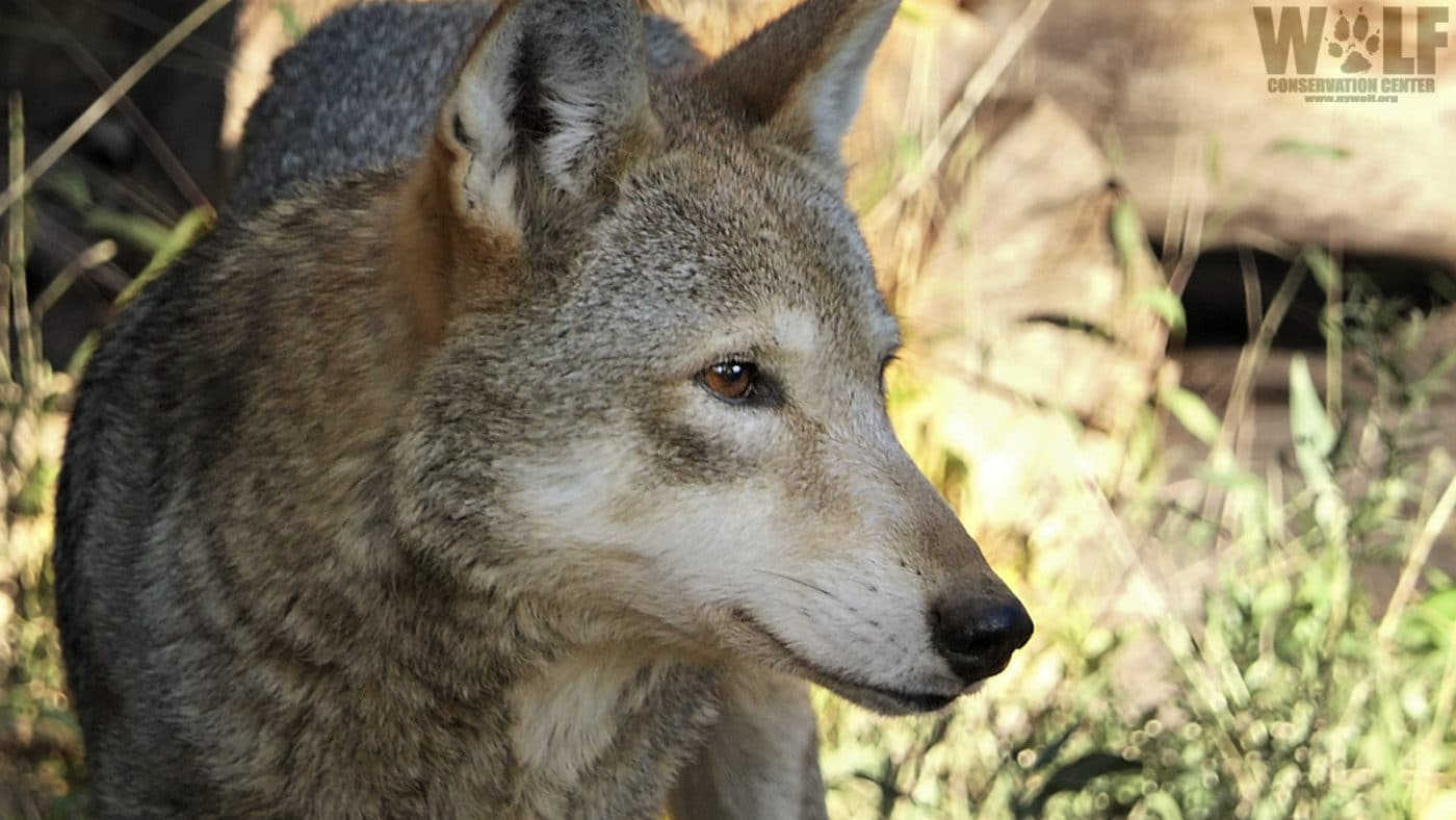 Rare Red Wolf Yodels and Howls