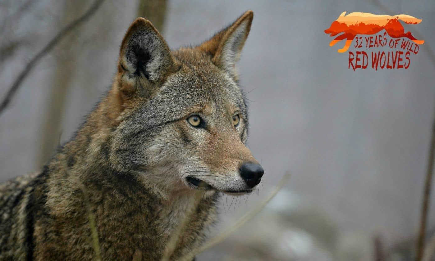 Red Wolf Recovery Milestone – 32 Years Wild