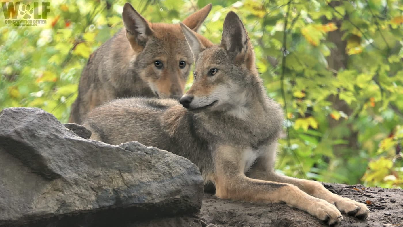 Today Only – We're Matching Your Donation for Red Wolves