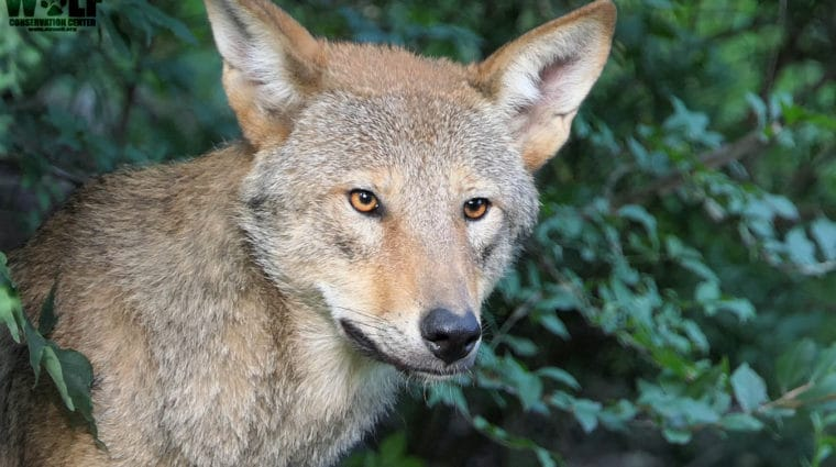 Flash Flood Warnings Issued in Last Home for Wild Red Wolves