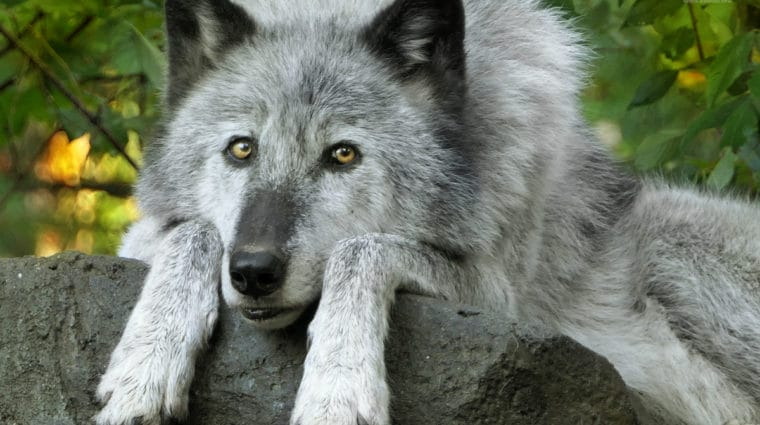 Emergency Action to Protect Denali Wolves
