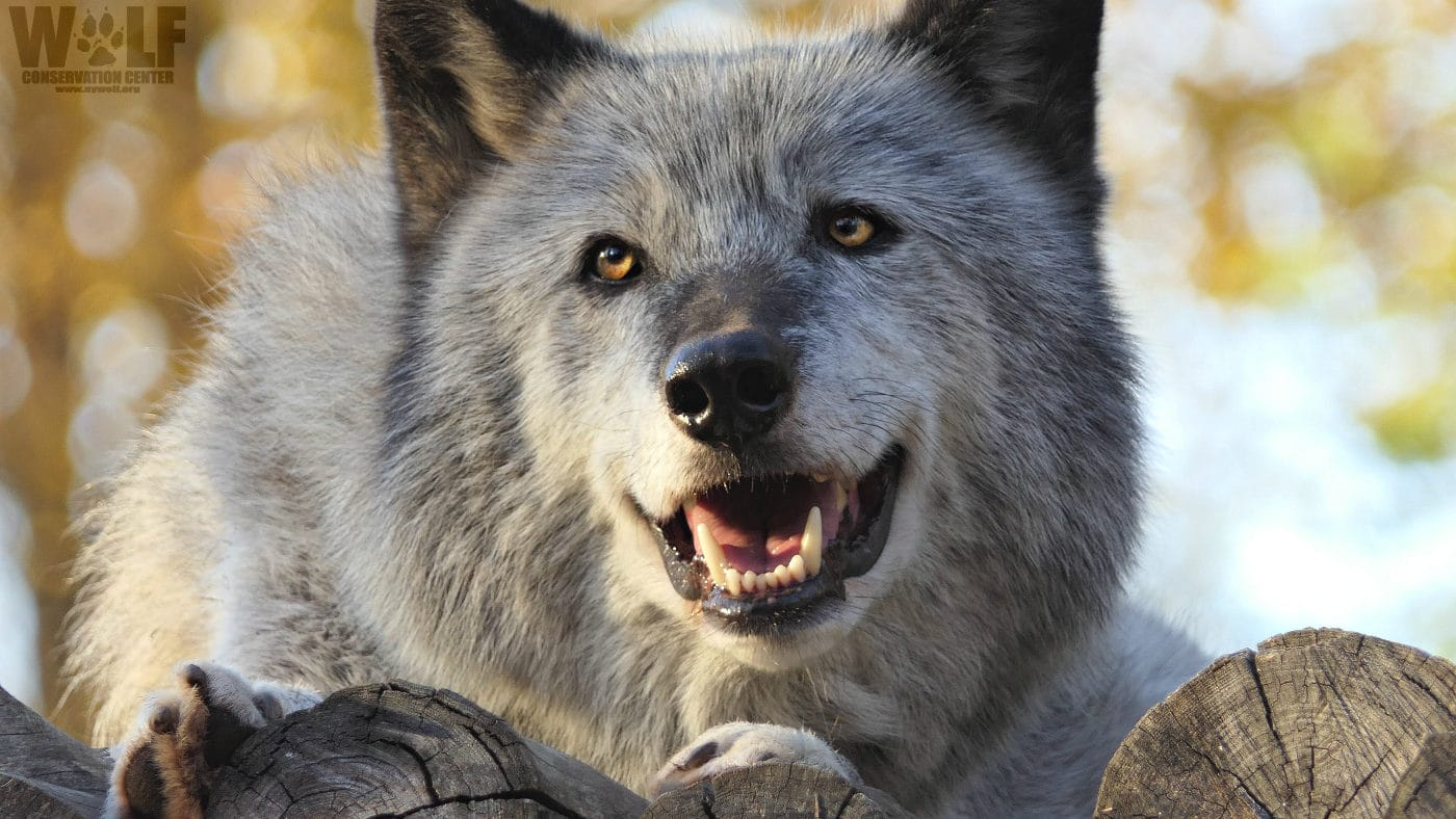 Wolf with the Cutest Smile