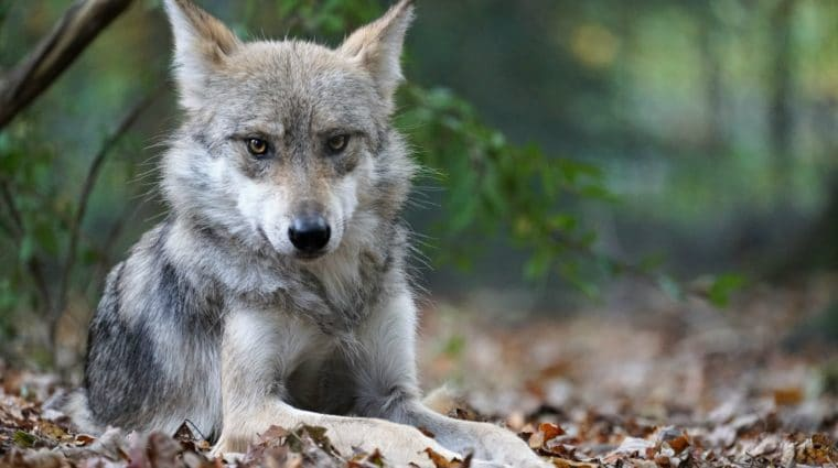 New Mexico State Game Commission Votes to Rejoin Wolf Recovery Program